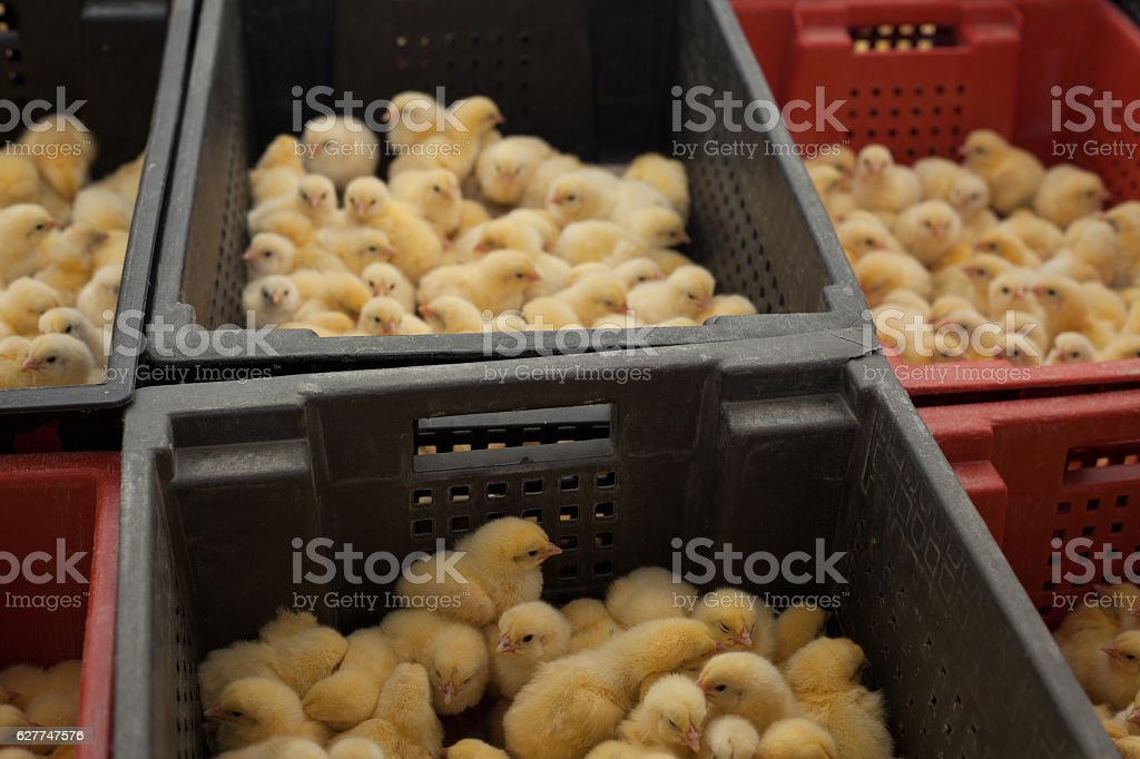 little chicks in a box at the agricultural farm stock photo
