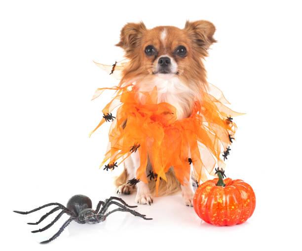 kleine chihuahua - hund spinnenkostüm stock-fotos und bilder