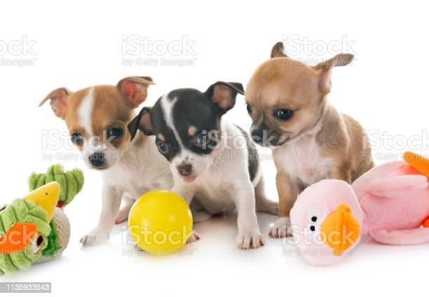 Little chihuahuas picture id1135933543?b=1&k=6&m=1135933543&s=612x612&h=izks xiq1slhkl2y0oi3bafqytr 9n5bj5bucdzxhtg=