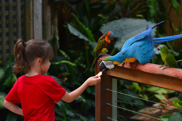 Little child feeds a Blue and Gold Macaw stock photo