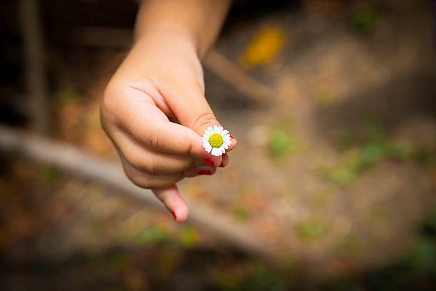 Little child hand with daisy flower closeup view stock photo