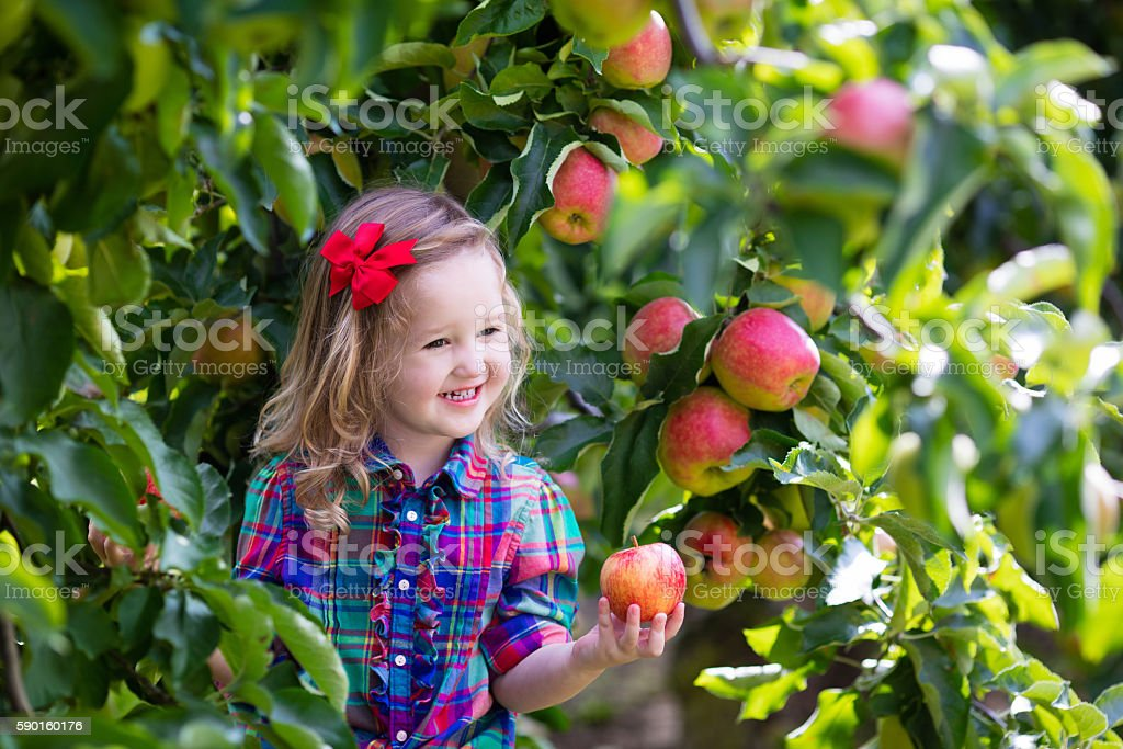Little child picking apples from tree in a fruit orchard stock photo