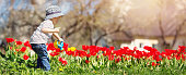 Little child watering tulips on the flower bed in beautiful spring day. Baby boy outdoors in the garden
