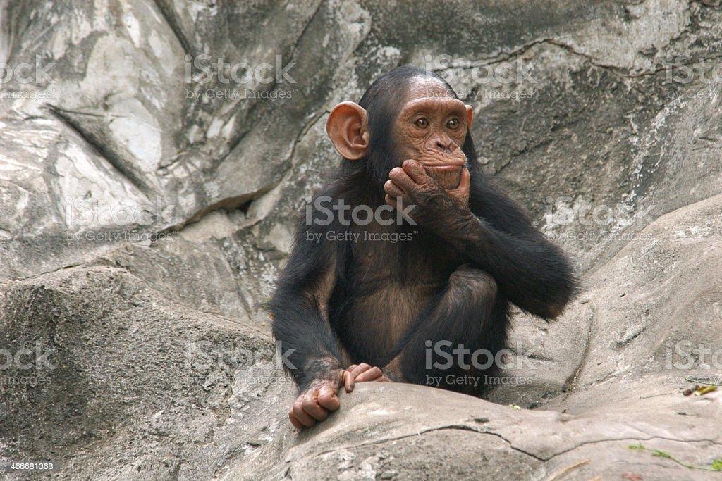 Little chimpanzee stock photo