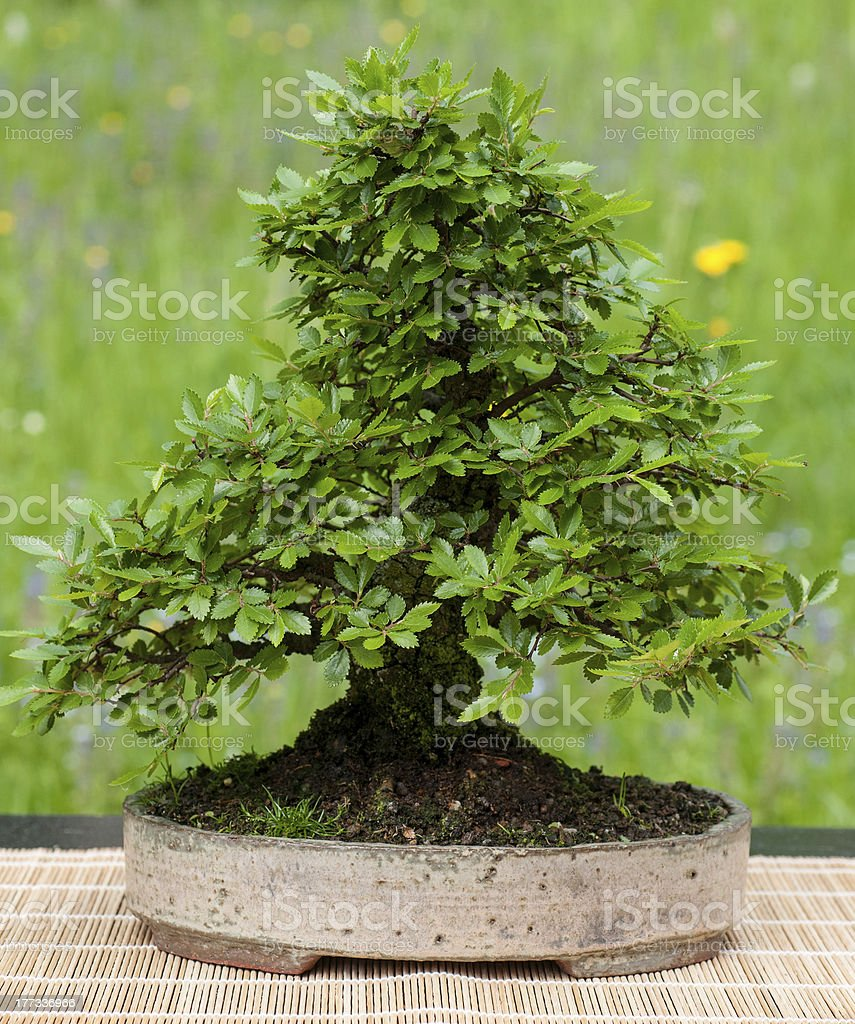 Little Chinese Elm As Bonsai Tree Stock Photo Download Image Now Istock