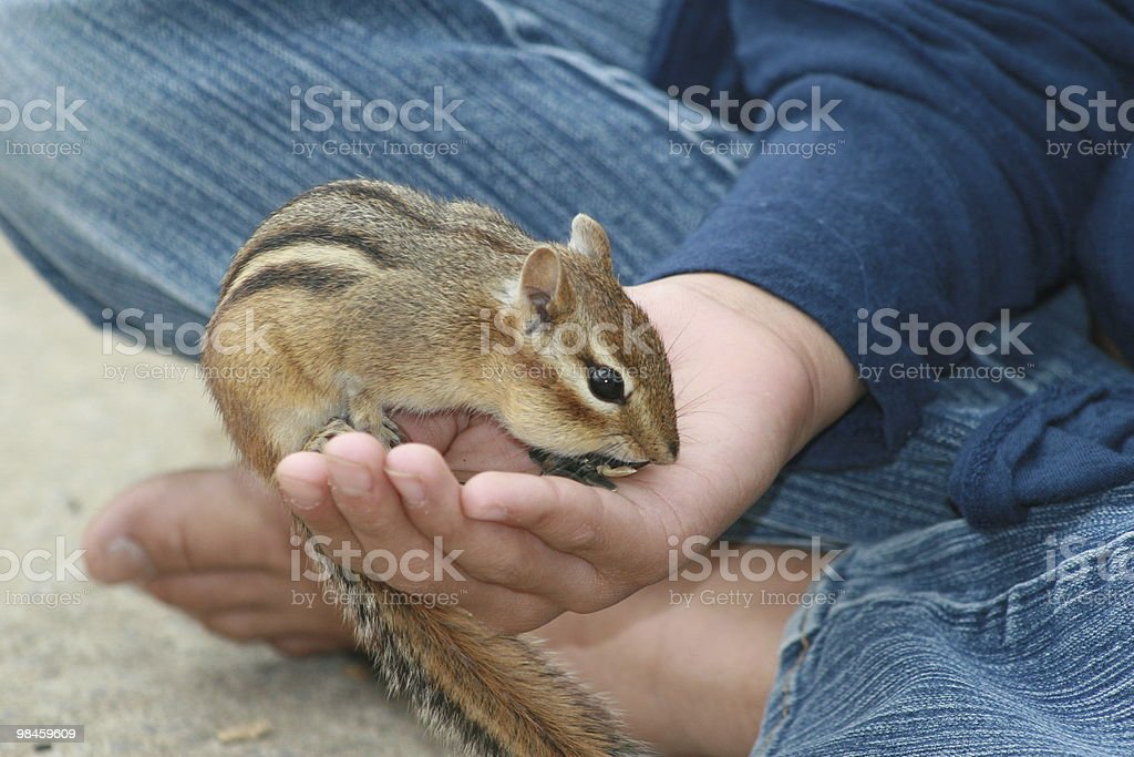 Little chipmunk eating in a child's hand royalty-free stock photo