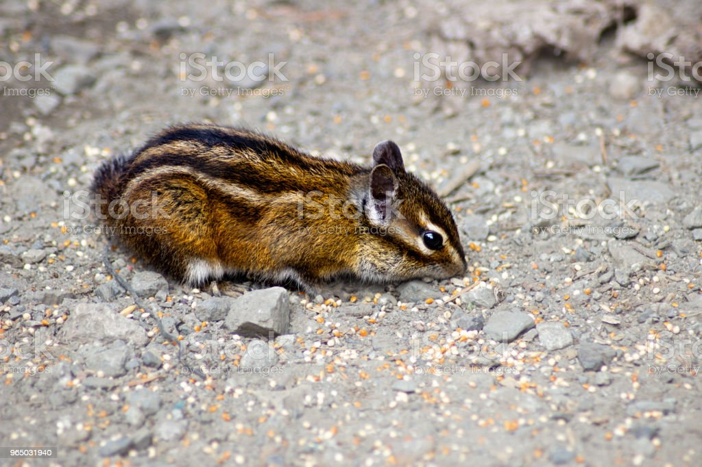 Little Chipmunk Gathers Grain royalty-free stock photo