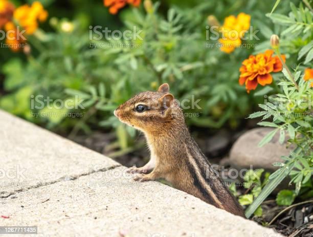 Photo of Little Chipmunk in Garden