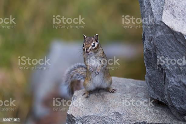 Photo of little chipmunk on the rocks