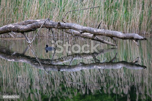 istock Little coot in a lake 958965010