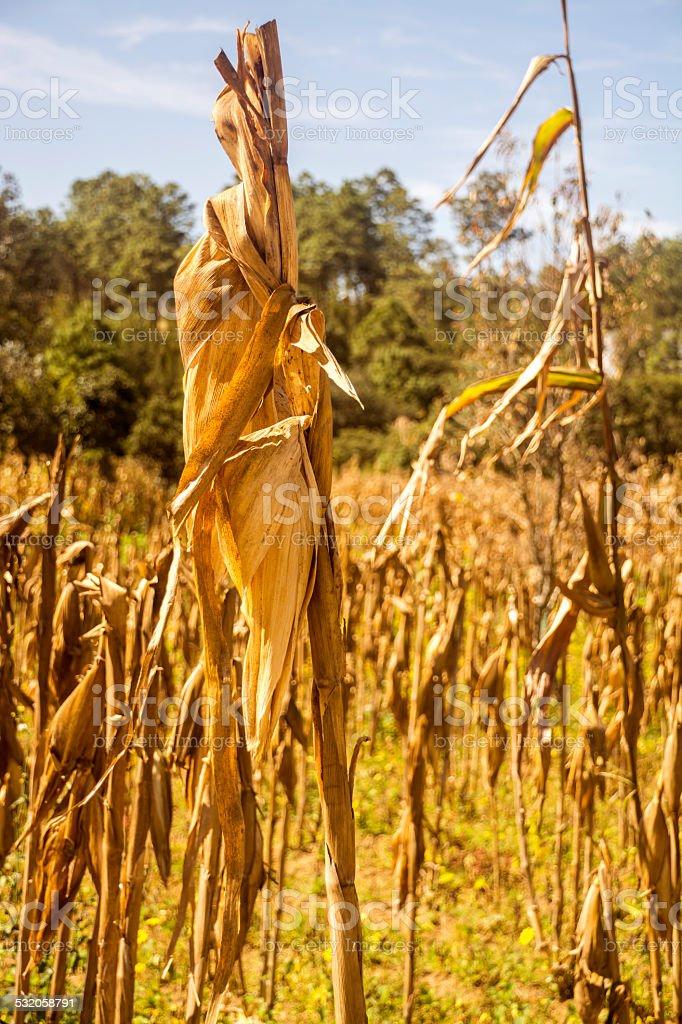 Little Corn cornfield stock photo