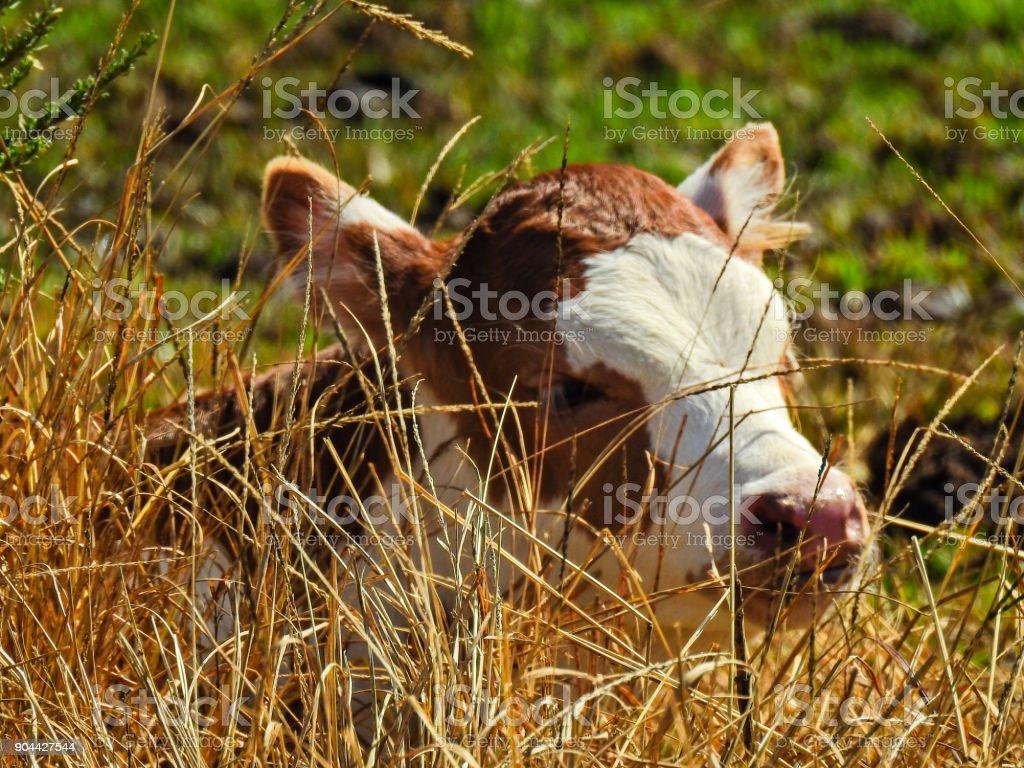 Little cow among the grass.