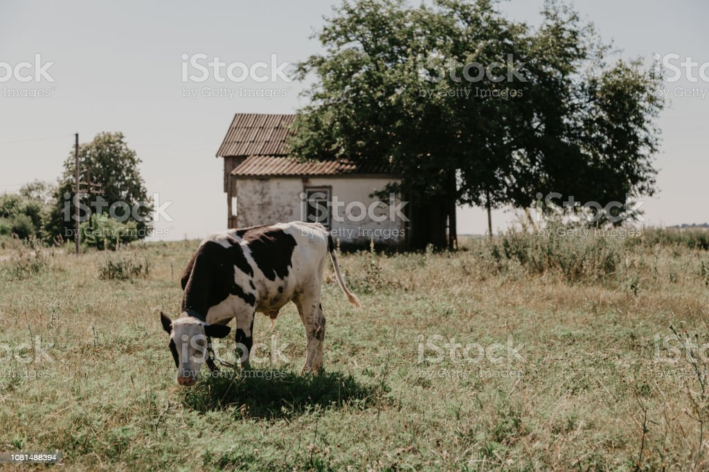 Calf cow of a white brown suit is eating a green grass on a meadow on...