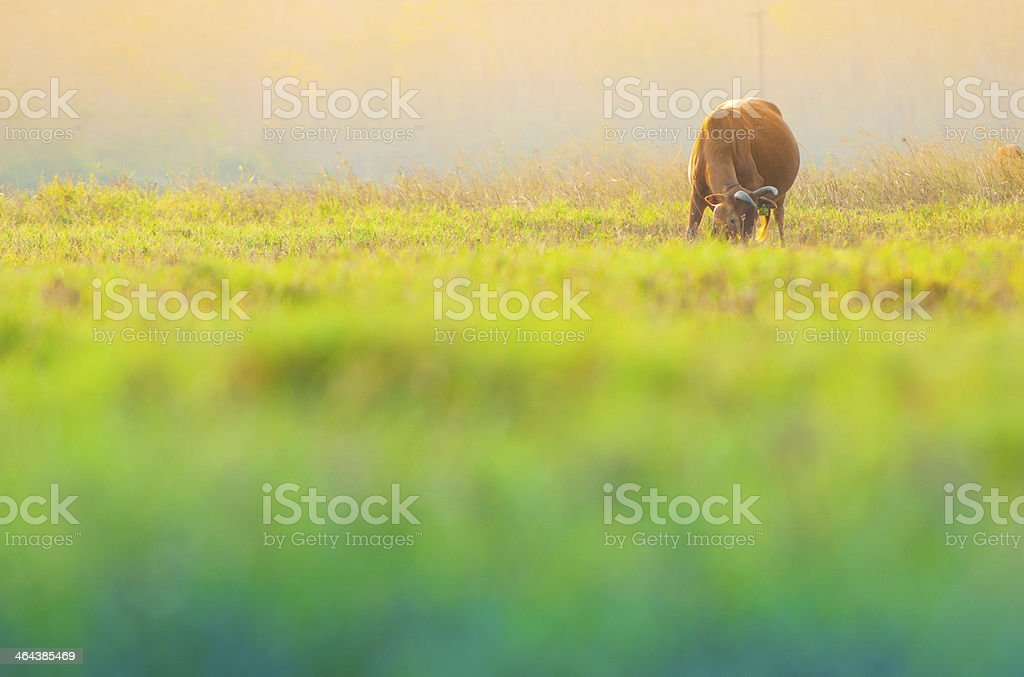 Little Cow on beautiful sunny landscape