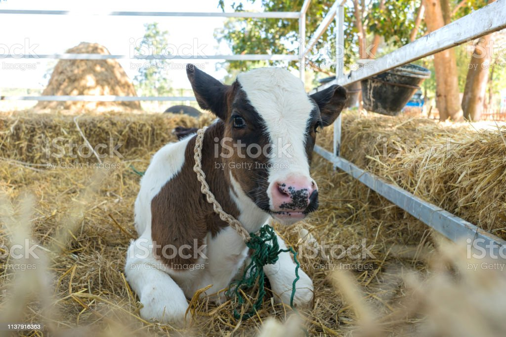 little cow or Dairy cows in farm.