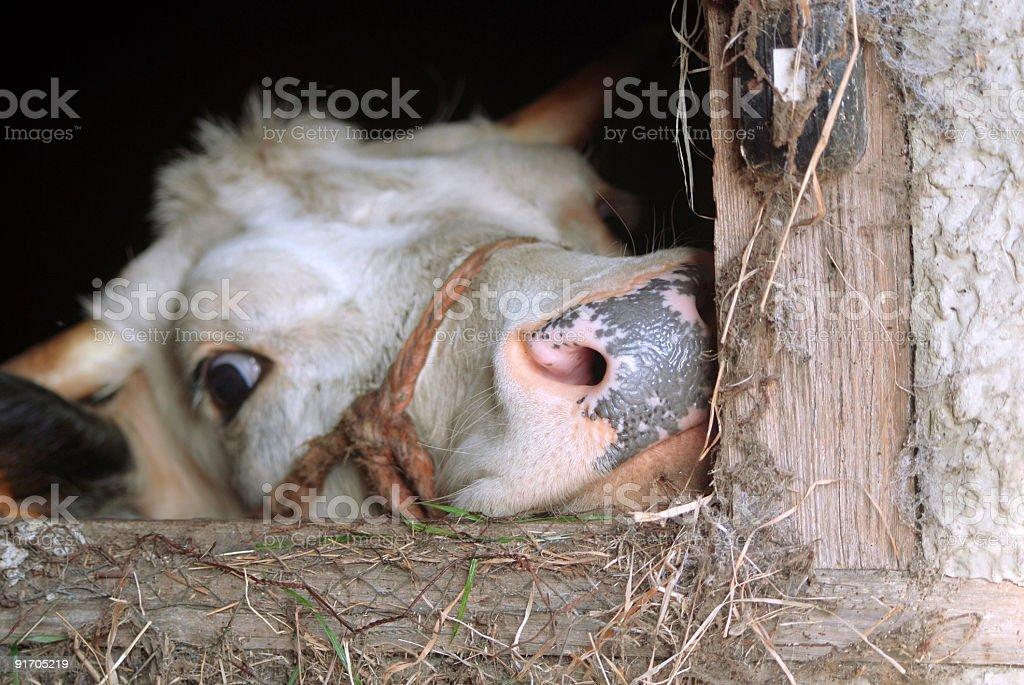 Little cow stock photo