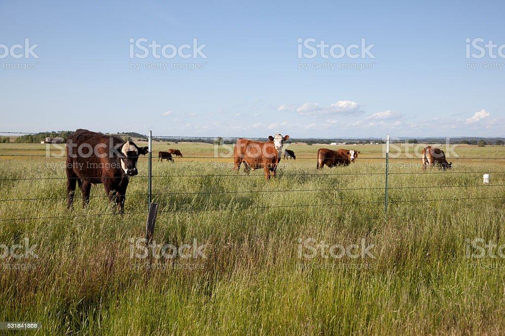 Domestic little cattle in a field.