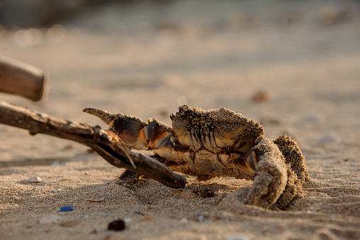 Little crab on the sand beach fights stick with its claws