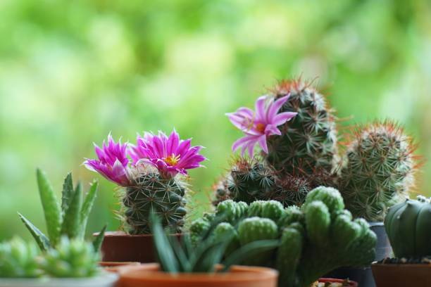 Little cuctus pot plant with blooming flower on wood table with blur green garden background stock photo