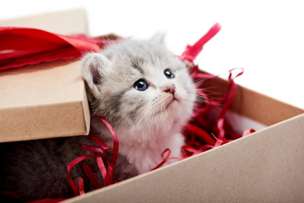 Little curious grey fluffy kitten looking from decorated cardboard birthday box being cute present for special occasion Little curious grey fluffy kitten looking from decorated cardboard birthday box being cute present for special occasion. Small adorable pretty cat valentine red bow blue eyes love happiness cuteness kitten cute valentines day domestic cat stock pictures, royalty-free photos & images