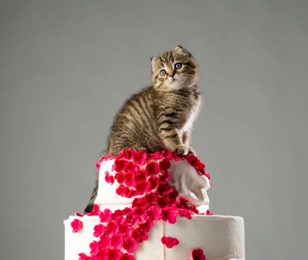 Little curious kittens scottish fold cats at the top of the wedding picture id871027860?b=1&k=6&m=871027860&s=612x612&w=0&h=oxw2eyway3y4al eu4wnyar5yz7htjww39buzfpilpa=