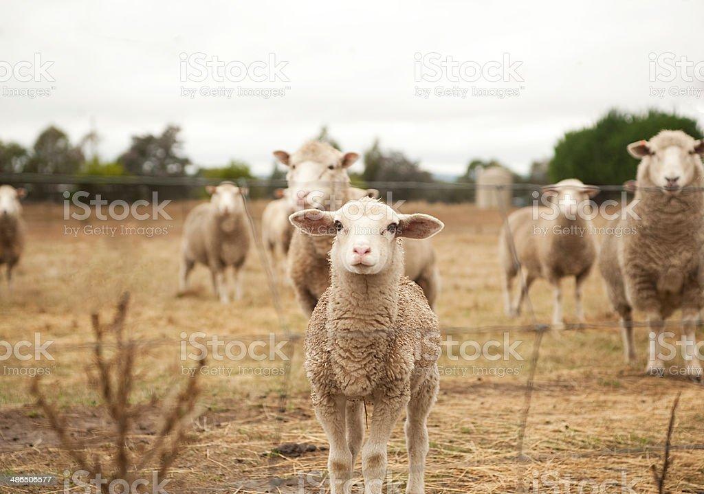 Little curious lamb stock photo