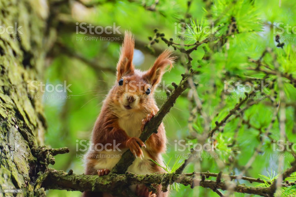 Little curious squirrel in a tree larch tree royalty-free stock photo