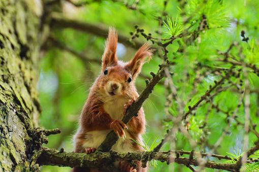 나무 낙 엽 송 나무에 작은 호기심 다람쥐 0명에 대한 스톡 사진 및 기타 이미지