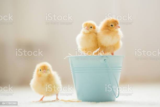 Little cute baby chicks in a bucket playing at home picture id641280090?b=1&k=6&m=641280090&s=612x612&h=zahrpmiefxkmmm5ypler xlgwqn teo xqtchw7mgus=