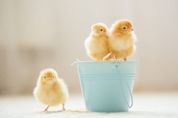 Little cute baby chicks in a bucket, playing at home stock photo