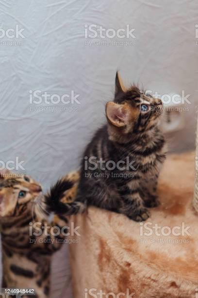 Little cute charcoal bengal kitten sitting on a soft cats shelf picture id1246948442?b=1&k=6&m=1246948442&s=612x612&h=9ka8lm3bc1unj qskni48yqhbyvyj9tuheszzr1qvem=