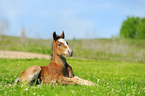 little cute colt walk - fohlen stock-fotos und bilder
