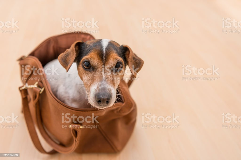 little cute dog sits in a brown handbag - Jack Russell Terrier stock photo