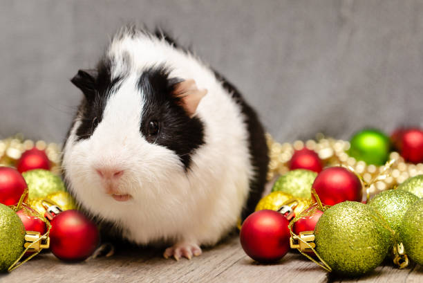 Little cute guinea pig in Christmas decoration. stock photo