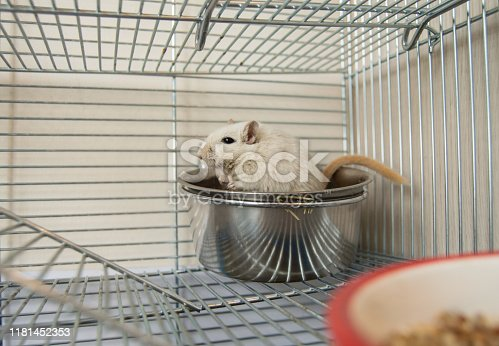 1206982378 istock photo Little cute hamster climbed into his bowl sitting in a cage, humor 1181452353
