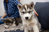 Little cute husky puppy playing in the room