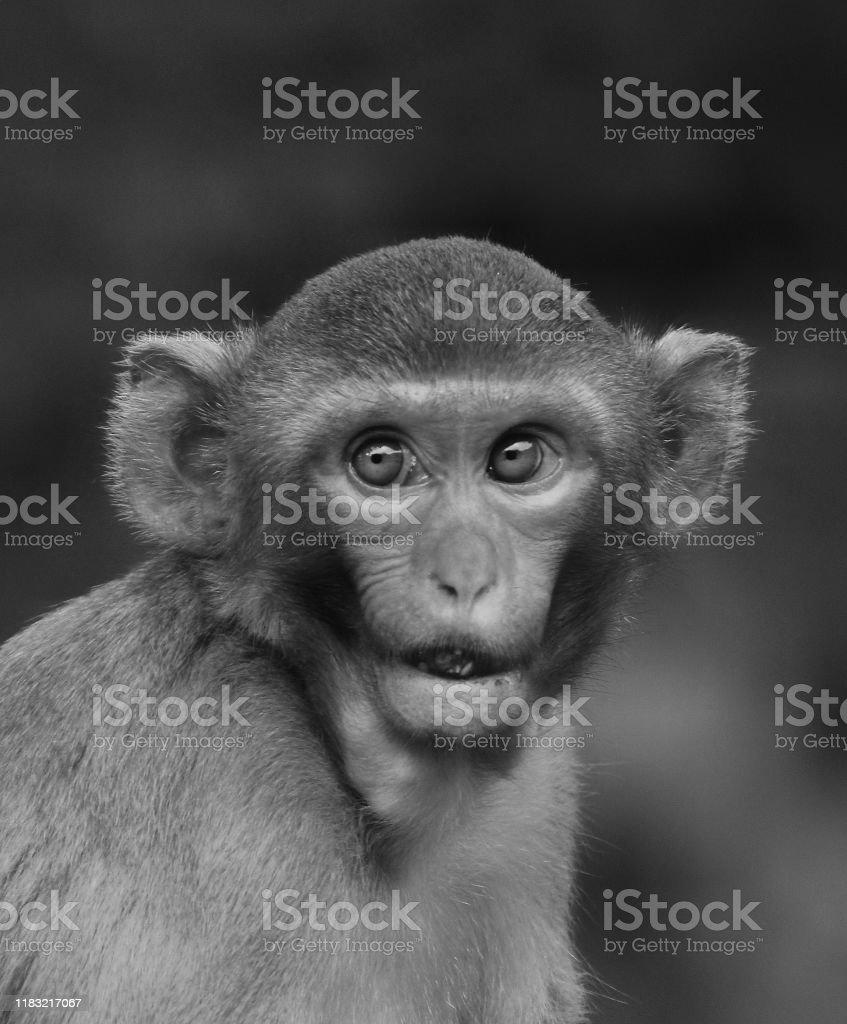 小さなかわいい無邪気な赤ちゃん猿顔かわいい動物の壁紙黒と白 12星座のストックフォトや画像を多数ご用意 Istock