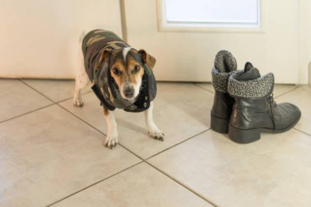 kleine süße Jack Russell Terrier Hund trägt einen Wintermantel. Warten auf den Spaziergang neben den Winterstiefeln – Foto