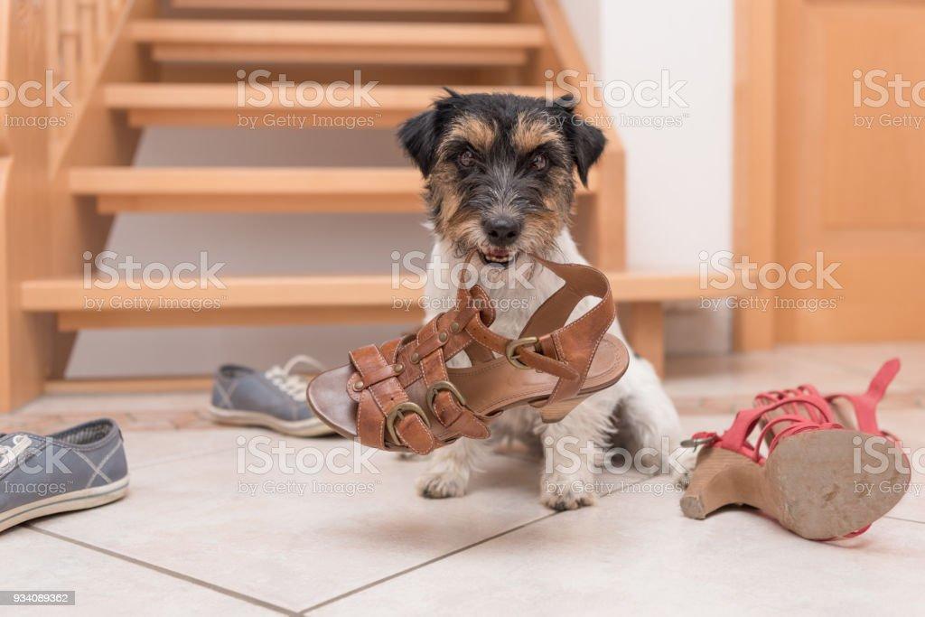 kleine niedlicher gehorsamer Hund hält einen Schuh von Clicker training - Jack Russell Terrier 2 Jahre alt – Foto