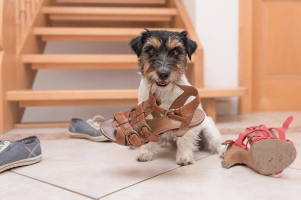 小可愛聽話的狗拿著一隻鞋通過遙控器訓練-傑克拉塞爾梗2歲 - 咬 個照片及圖片檔