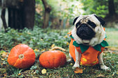 istock A little cute pumpkin dog wish you a Happy Halloween! 1177452743