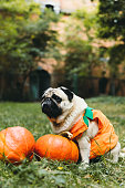istock A little cute pumpkin dog wish you a Happy Halloween! 1177452877