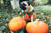 istock A little cute pumpkin dog wish you a Happy Halloween! 1177453312