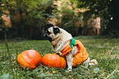 istock A little cute pumpkin dog wish you a Happy Halloween! 1177453466