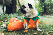 istock A little cute pumpkin dog wish you a Happy Halloween! 1177453467