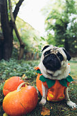 istock A little cute pumpkin dog wish you a Happy Halloween! 1177453473