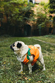 istock A little cute pumpkin dog wish you a Happy Halloween! 1177453475
