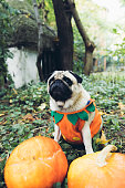 istock A little cute pumpkin dog wish you a Happy Halloween! 1177454096