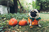 Small cute beautiful fluffy pug in a pumpkin costume walking in the scary forest near abandoned house and two pumpkins and celebrating Halloween