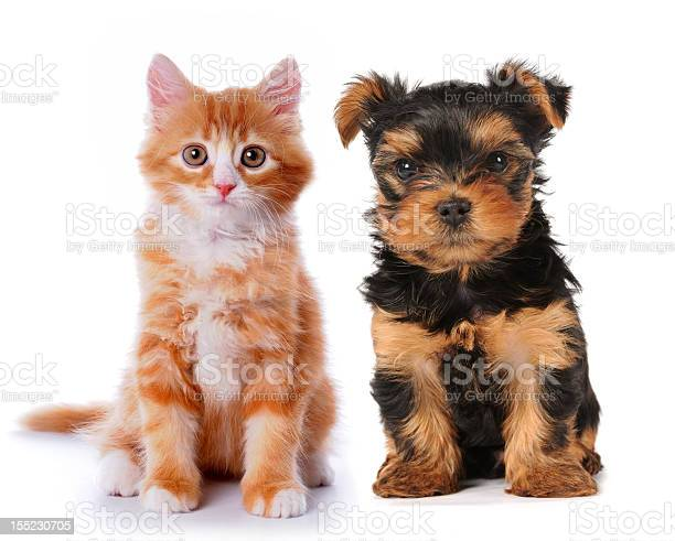 Little cute puppy and red kitten isolated on white picture id155230705?b=1&k=6&m=155230705&s=612x612&h=1grckidv9ycuyvveo nxwohmepx1b1ndcsfjizqejp8=
